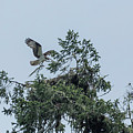 Osprey Reinforcing Its Nest 2017 by Belinda Greb