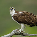 Osprey by Ronnie and Frances Howard