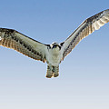 Osprey Soar Search by Deborah Benoit