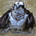 Osprey Splashing In Water by DejaVu Designs