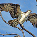 Osprey Wing Stretch by HH Photography of Florida