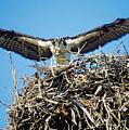 Osprey Wingspan by Steve Somerville