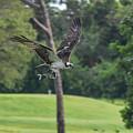 Osprey With Catch by William Tasker