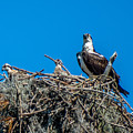 Osprey With Chicks by Stephen Whalen