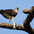 Osprey With Fish by Alan Lenk