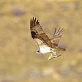 Osprey With Fish by Dennis Hammer