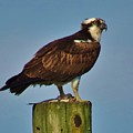 Osprey With His Catch by Mel Manning