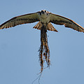 Osprey With Nesting Material 031620161500 by WildBird Photographs