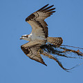 Osprey With Nesting Material 031620161559 by WildBird Photographs