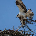Osprey With Nesting Material 031620161567 by WildBird Photographs