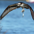 Osprey With Pin Fish by KenDidIt Photography