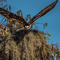 Osprey Working On Nest by Donald Trimble