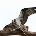Osprey's Feast  by Ola Allen