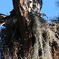 Ospreys In Spanish Moss Nest by Carol Groenen