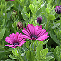 Osteospermum Flowers by Erin Paul Donovan