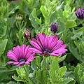 Osteospermum Flowers by Erin Paul Donovan