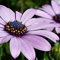Osteospermum 'margarita Lilac' by Jimmy Chuck Smith
