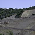 Osterspai Vineyards by Teresa Mucha