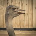 Ostrich by David Pine