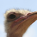 Ostrich Head Close Up by Danny Yanai