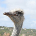 Ostrich Head II by Thomas Marchessault