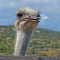 Ostrich Head by Thomas Marchessault