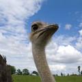 Ostrich High In The Sky by Douglas Barnett