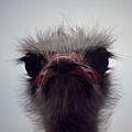 Ostrich - The Sharp End by Rod Johnson