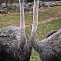 Ostrich Twins 2 by Douglas Barnett