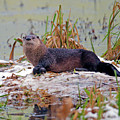 Otter 2 by Sharon Talson