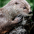 Otter by David Millenheft