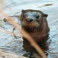 Otter by Eric Abernethy