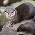 Otters In Arms by Kevin Williams
