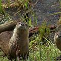 Otters by Steve Stuller