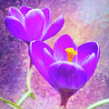 Our First Crocuses This Spring by Anita Pollak