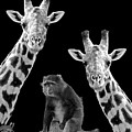 Our Wise Little Friend - Monkey And Giraffes In Black And White by Gill Billington