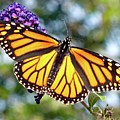Outstretched Monarch by Cindy Treger