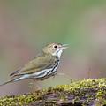 Ovenbird by Tom Ingram