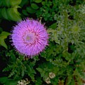 Over A Thistle by Nancy Kane Chapman