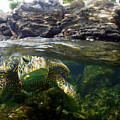 Over Under Honu by Todd Hummel