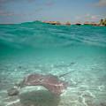 Over-under Water Of A Stingray At Bora Bora by IPics Photography