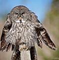 Owl 4 by Peter Olsen