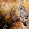 Owl 9 by Peter Olsen