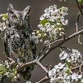 Owl Among The Blossoms by Susan Grube