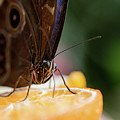 Owl Butterfly Feeding On An Orange by Ben Delves