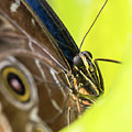 Owl Butterfly In Yellow Flower by Steven Jones