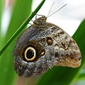Owl Butterfly by Kristina Jones