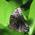 Owl Butterfly On A Cluster Of Green Leaves by DejaVu Designs