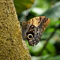 Owl Butterfly by Sandy Keeton