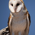 owl by Diane Barone
